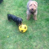 Dashund and Welsh terrier Dog sitting